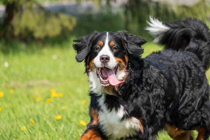 Perro de montaña de Bernese feliz en un campo fotografía de archivo