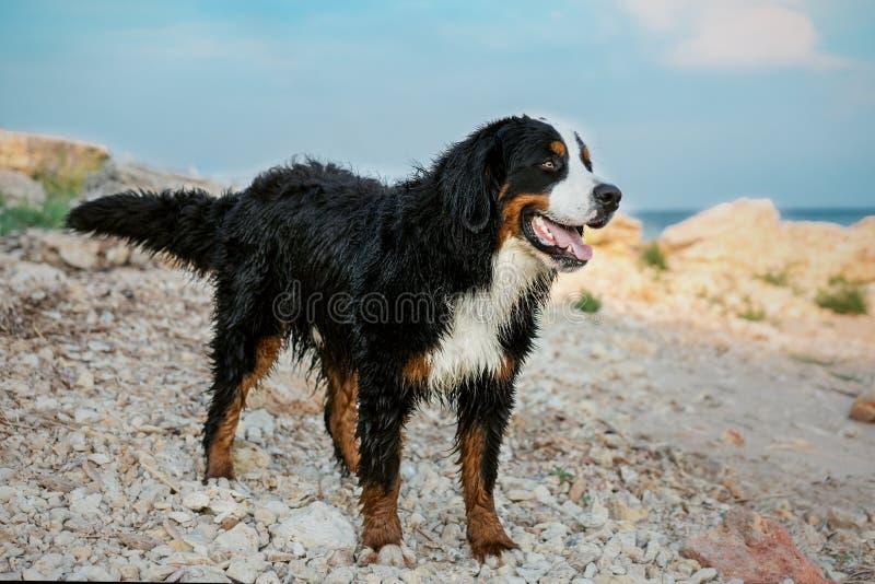 Perro de montaña de Bernese feliz mojado después de bañar en el mar, oponiéndose en una playa triste al cielo azul foto de archivo