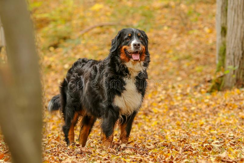 Perro de montaña de Bernese que se coloca en bosque del otoño foto de archivo