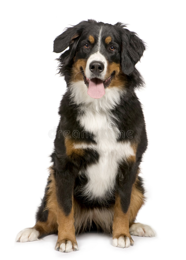 Perro de montaña de Bernese (1 año) fotos de archivo libres de regalías