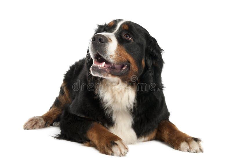 Perro de montaña de Bernese (13 meses) fotos de archivo