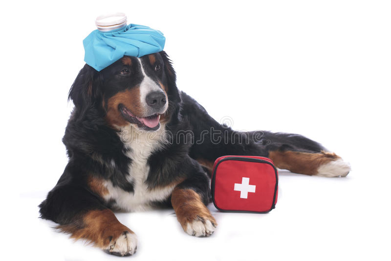 Perro de montaña de Bernese con el equipo de primeros auxilios fotos de archivo
