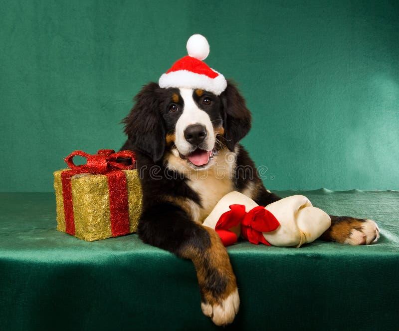 Perro de montaña de Bernese con los regalos de la Navidad fotos de archivo