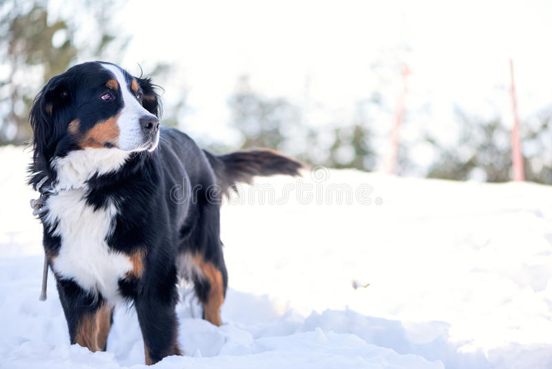 Perro de montaña de Bernese en la nieve fotografía de archivo