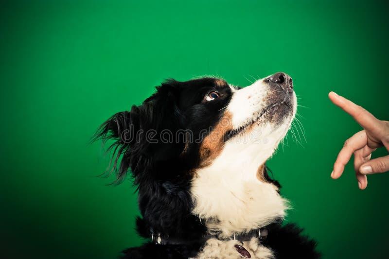 Perro de montaña de Bernese que consigue comando de sentarse imagen de archivo