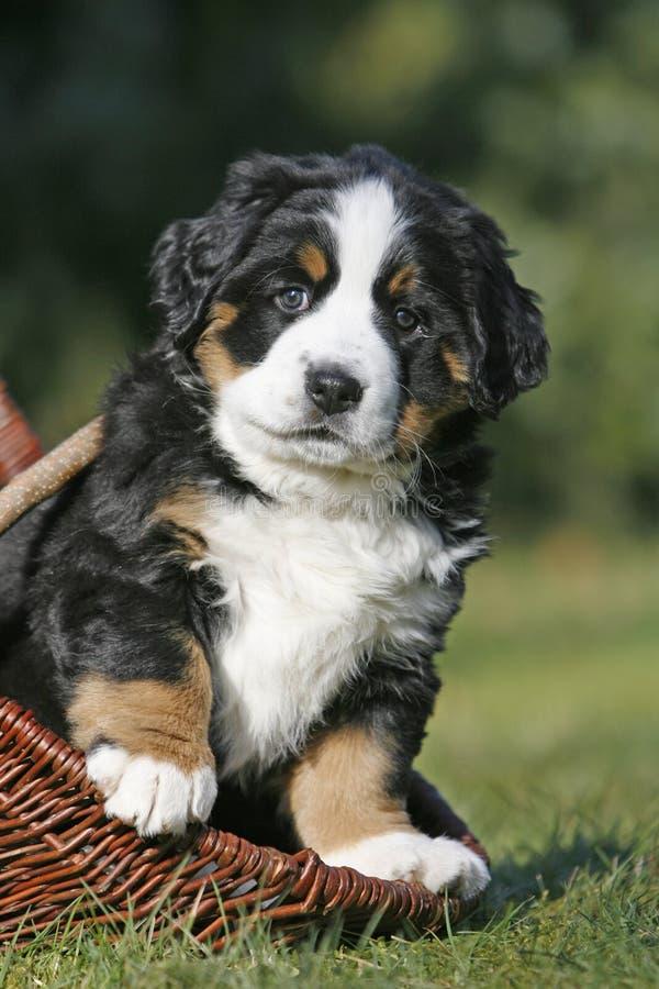 Perro de montaña de Bernese que se sienta en cesto imágenes de archivo libres de regalías