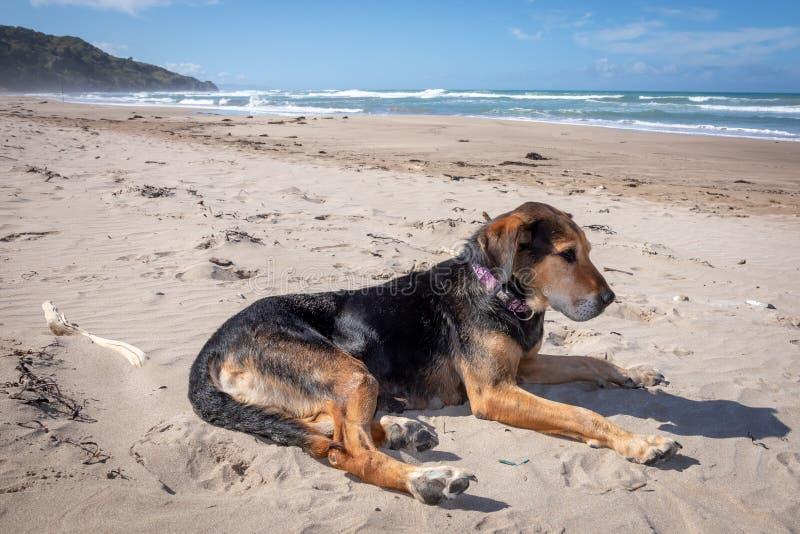 Perro de Nueva Zelanda Huntaway en la playa después de retirarse a partir de 10 años que trabajan la reunión a tiempo completo de fotografía de archivo libre de regalías