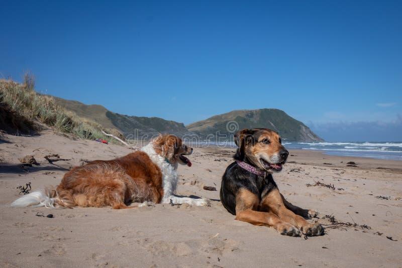 Perro de Nueva Zelanda Huntaway en la playa después de retirarse a partir de 10 años que trabajan la reunión a tiempo completo de fotos de archivo