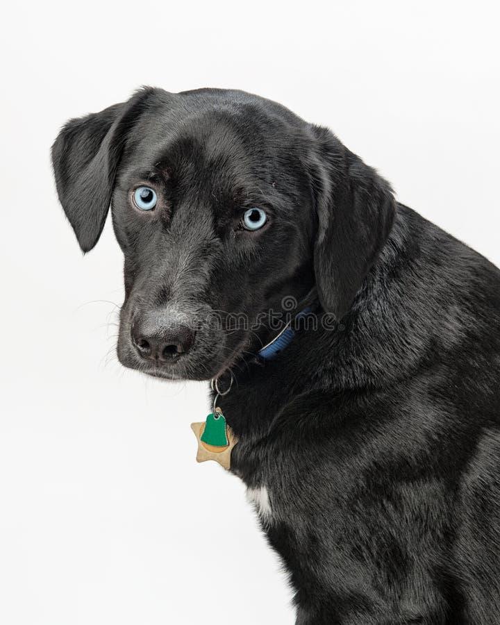 Perro de ojos azules foto de archivo