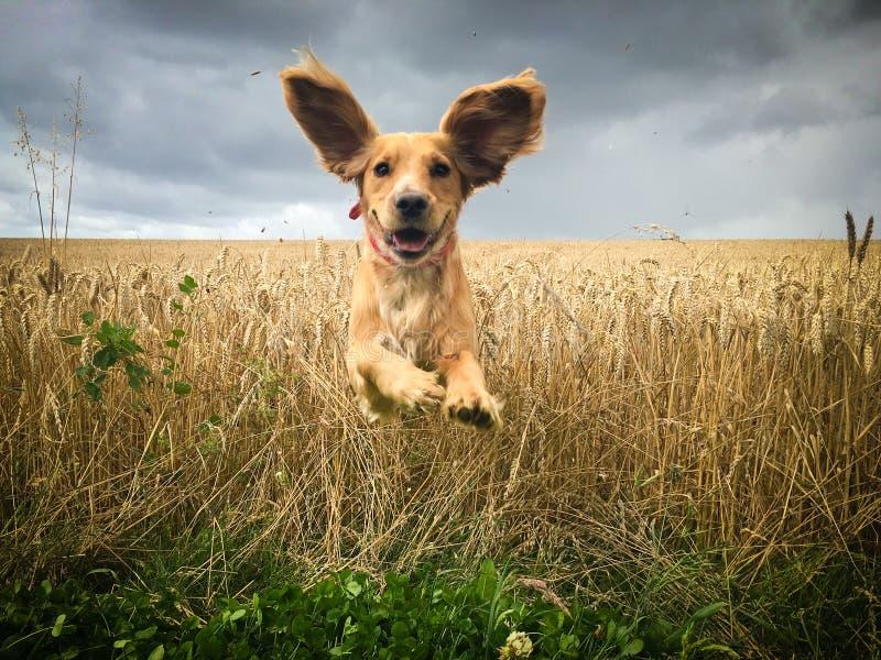 Perro de oro de cocker spaniel que corre a través de un campo del trigo fotos de archivo