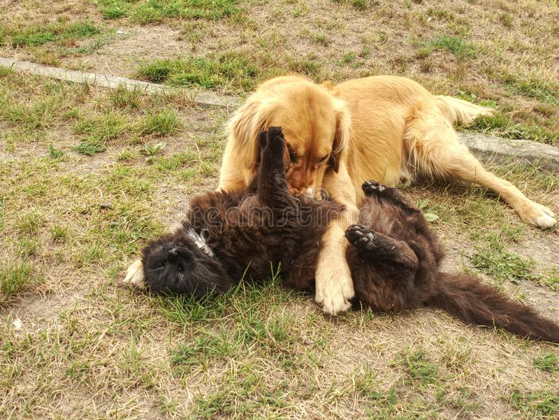 Perro de oro que lame el gato lindo en verde de hierba corto Gatito negro adorable imágenes de archivo libres de regalías