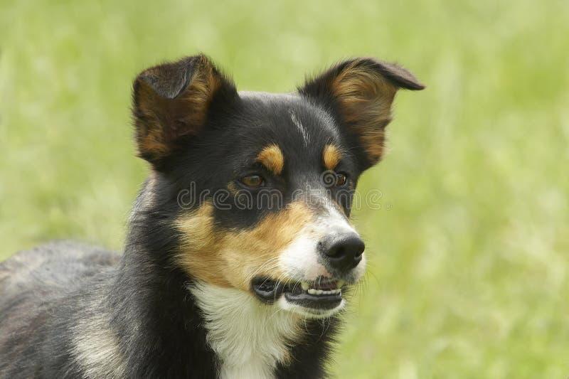 Perro de ovejas enojado imagen de archivo
