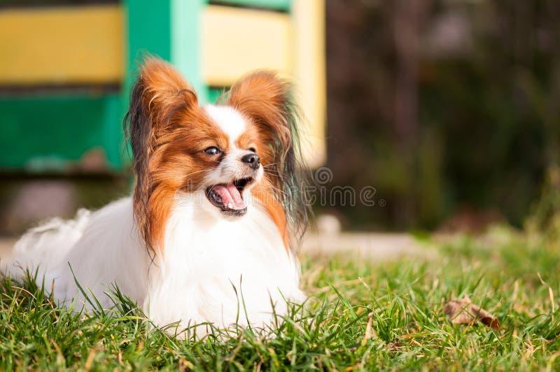 Perro de Papillon con la boca abierta, bostezando fotografía de archivo