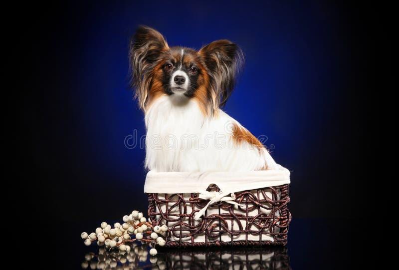 Perro de Papillon en cesta foto de archivo