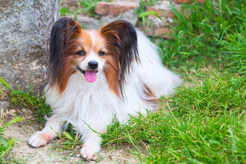 Perro de Papillon que miente en la hierba verde imágenes de archivo libres de regalías