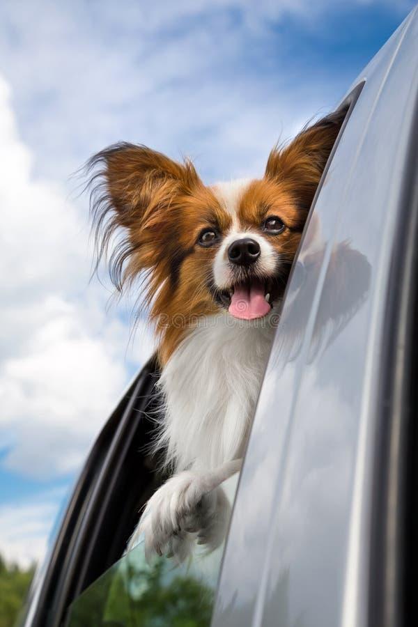 Perro de Papillon que viaja en el coche foto de archivo