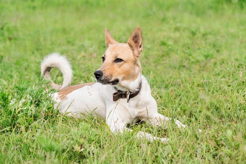 Perro de pastor adorable de la mezclado-raza que pone en la hierba en el día de verano foto de archivo libre de regalías