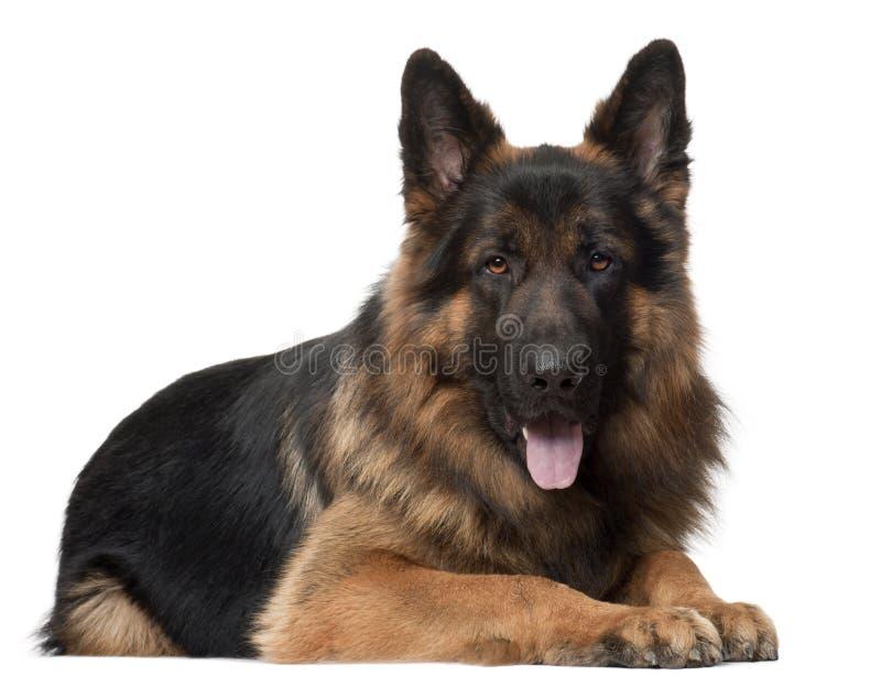 Perro de pastor alemán, 2 años, mintiendo foto de archivo libre de regalías