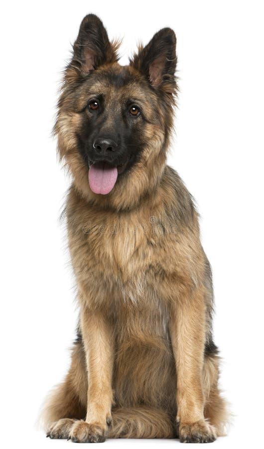 Perro de pastor alemán, 21 meses, sentándose imágenes de archivo libres de regalías