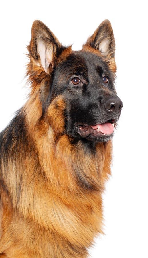 Perro de pastor alemán aislado en el fondo blanco fotos de archivo