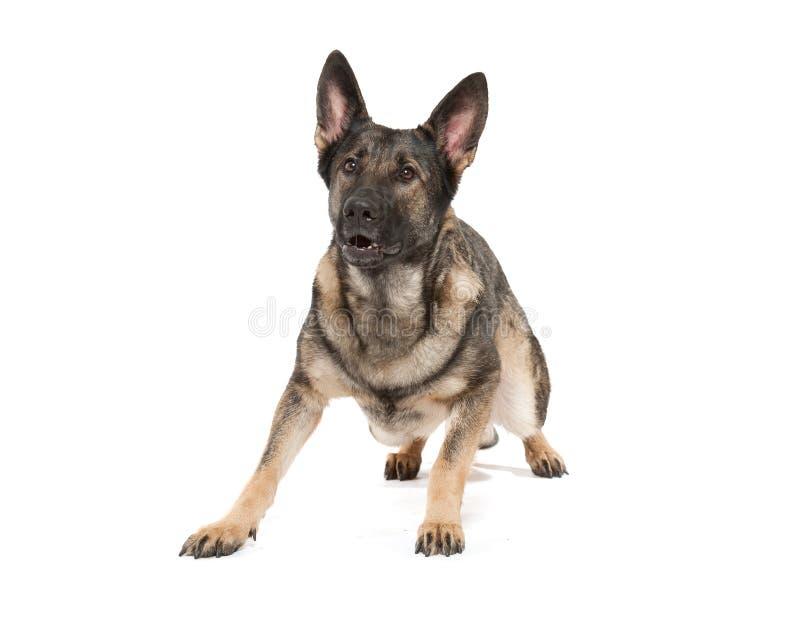 Perro de pastor alemán gris