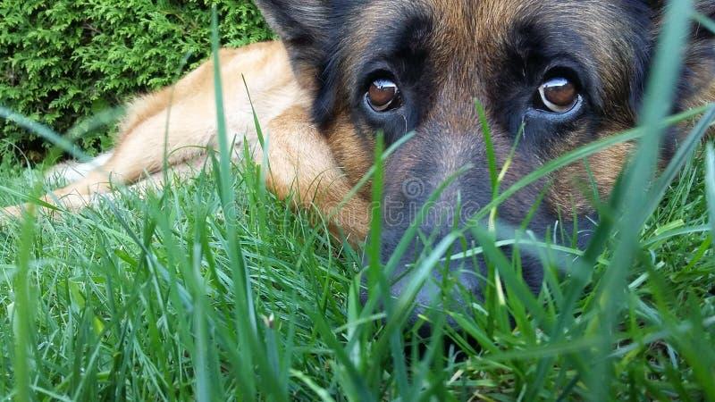 Perro de pastor alemán hermoso fotografía de archivo