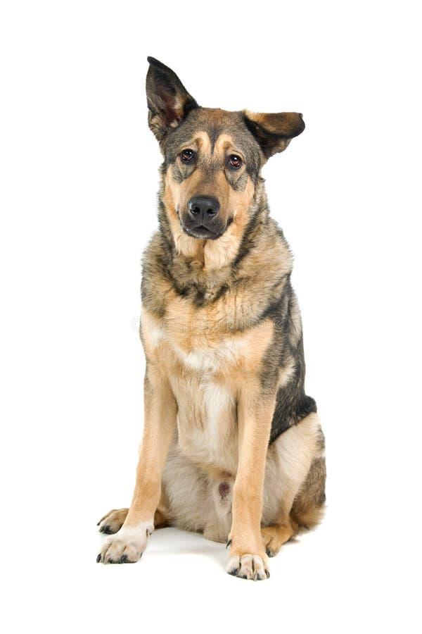 Perro de pastor alemán mestizo imágenes de archivo libres de regalías