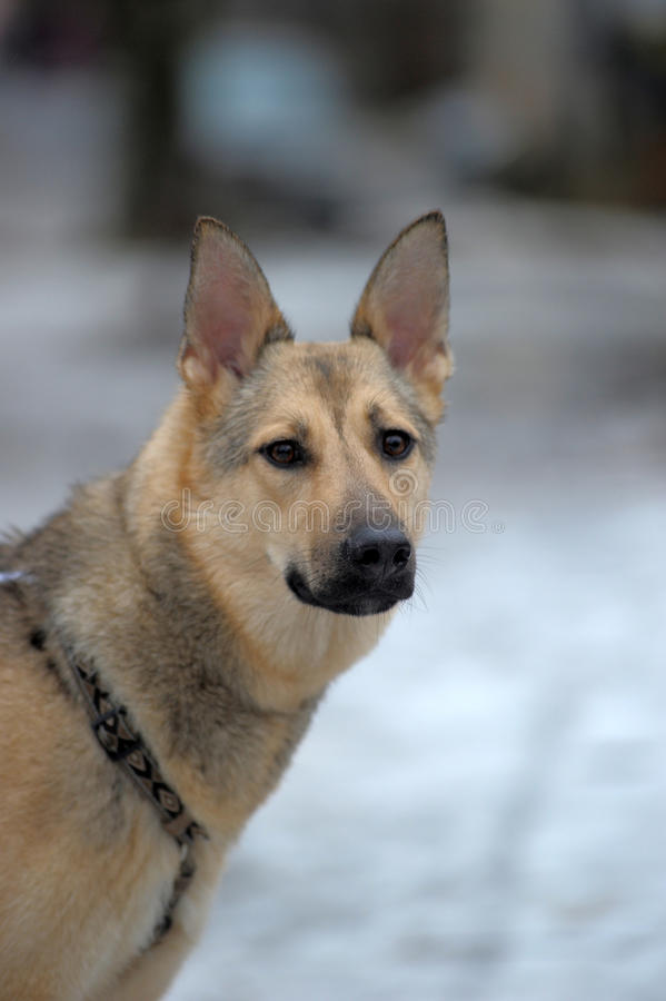 Perro de pastor alemán mezclado fotografía de archivo libre de regalías