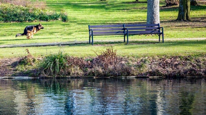 Perro de pastor alemán pooing en la hierba al lado de un banco y una charca con agua cristalina en el parque de Proosdij fotos de archivo libres de regalías