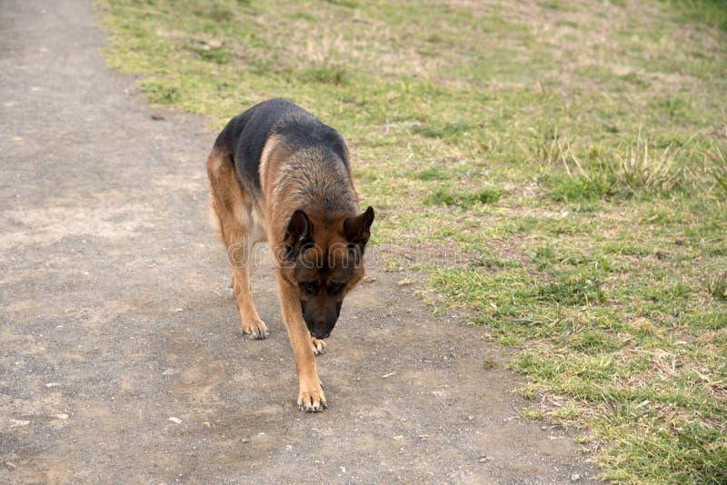 Perro de pastor alemán que camina en el parque fotografía de archivo libre de regalías
