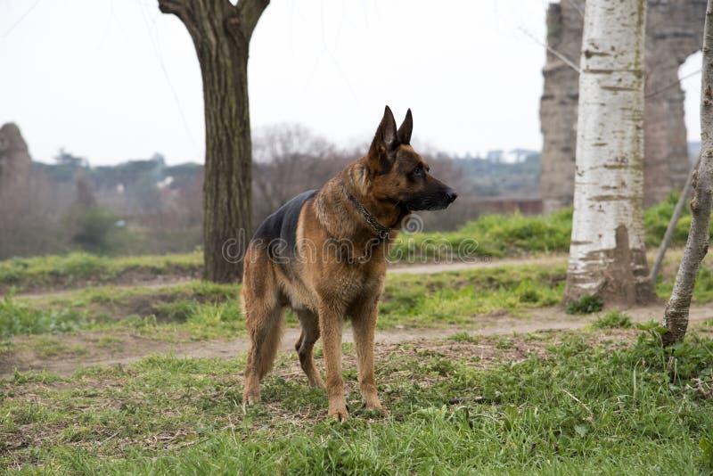 Perro de pastor alemán que camina en el parque imagen de archivo libre de regalías