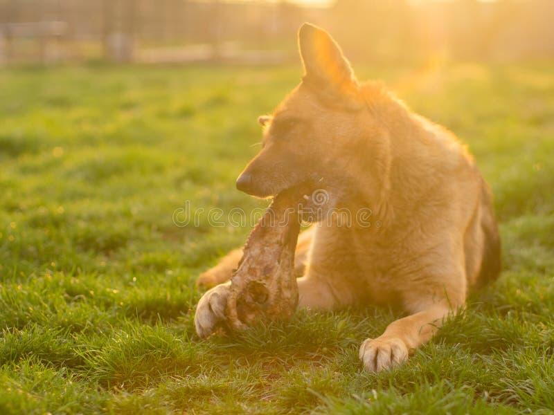 Perro de pastor alemán que come un hueso enorme que miente en un césped de la primavera imagen de archivo libre de regalías