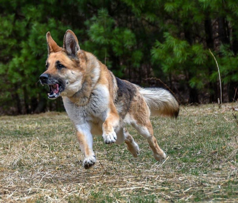 Perro de pastor alemán que corre a través de prado foto de archivo libre de regalías
