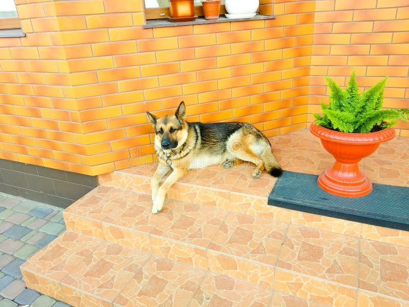 Perro de pastor alemán que miente en los guardias de las escaleras una casa privada en un día soleado foto de archivo libre de regalías