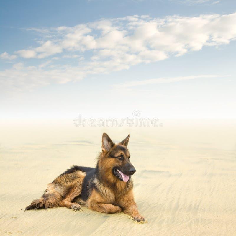 Perro de pastor alemán sano y feliz imagen de archivo