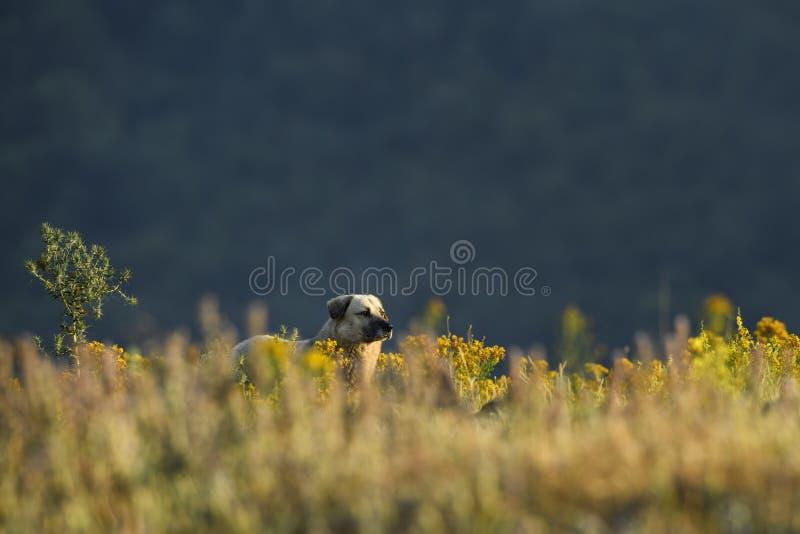 Perro de pastor de Anatolia fotografía de archivo libre de regalías