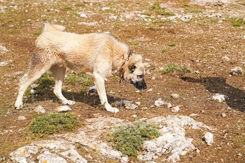 Perro de pastor de Anatolia con el cuello de hierro claveteado fotografía de archivo