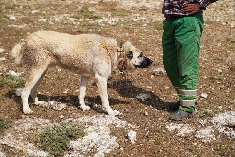 Perro de pastor de Anatolia con el cuello de hierro claveteado foto de archivo