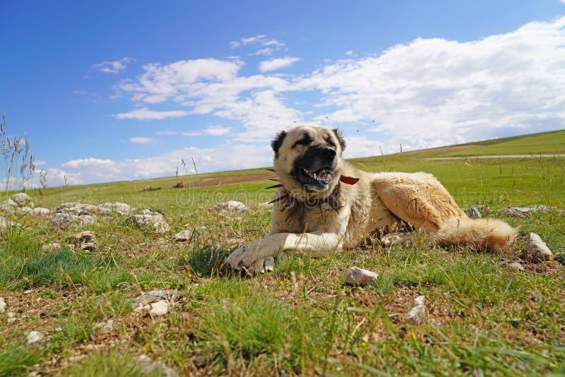 Perro de pastor de Anatolia con el cuello de hierro claveteado que miente en pasto fotografía de archivo