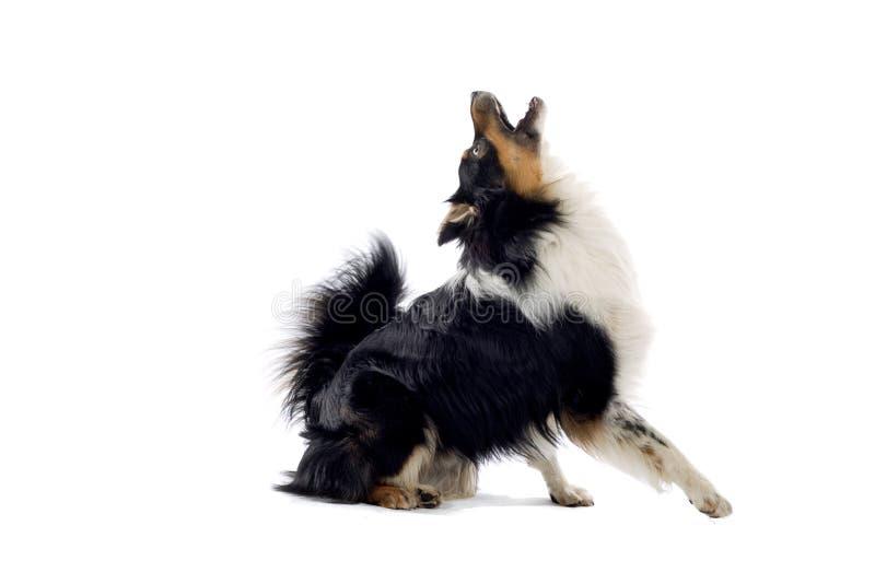 Perro de pastor australiano foto de archivo libre de regalías