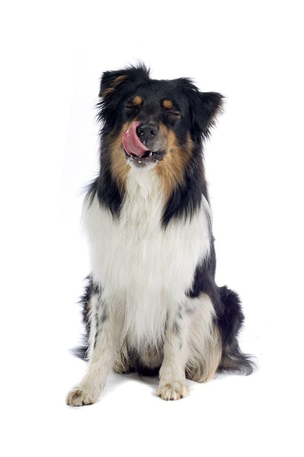 Perro de pastor australiano fotografía de archivo libre de regalías