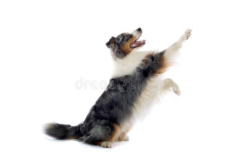 Perro de pastor australiano imágenes de archivo libres de regalías