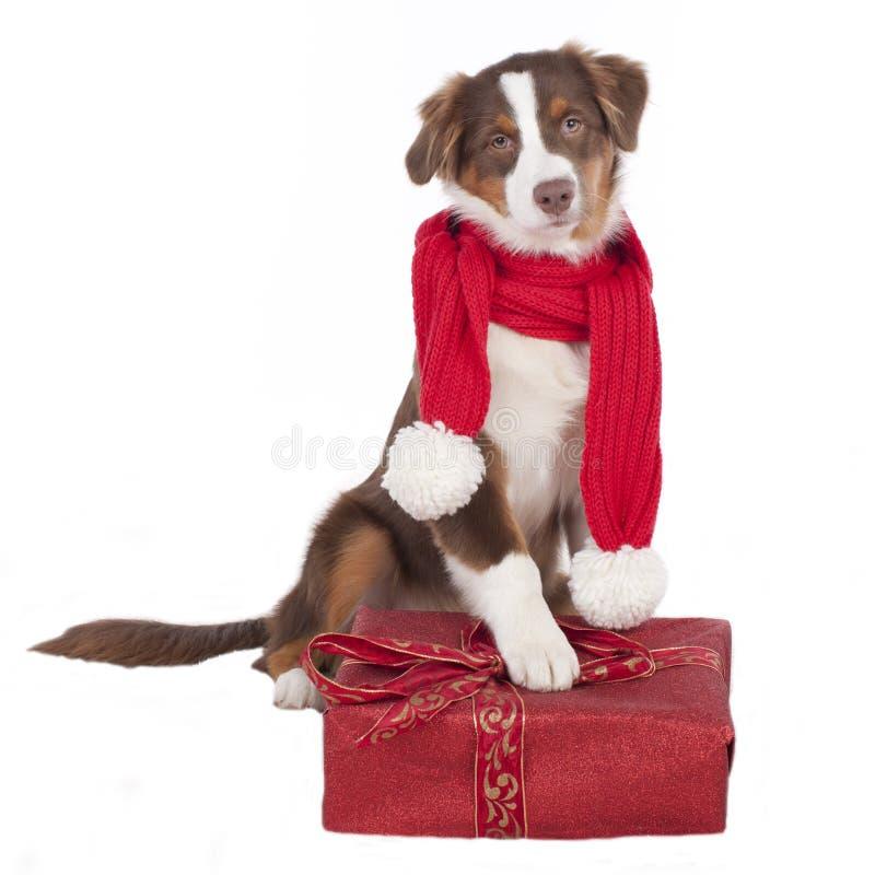 Perro de pastor australiano con la bufanda y el regalo rojos fotografía de archivo libre de regalías