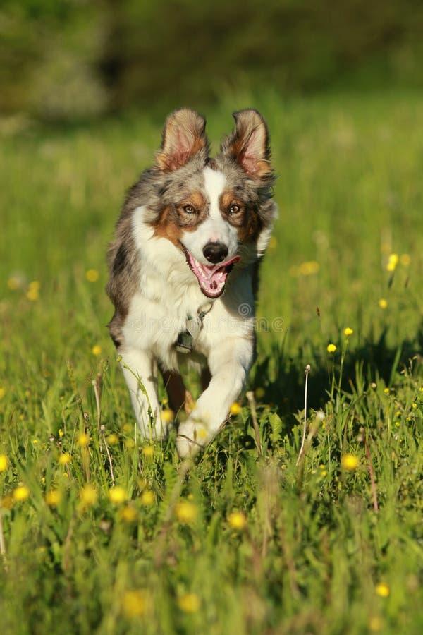 Perro de pastor australiano que corre en hierba del verano fotos de archivo