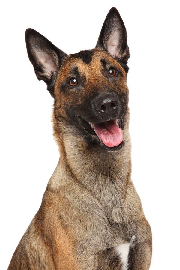 Perro de pastor belga Malinois foto de archivo libre de regalías