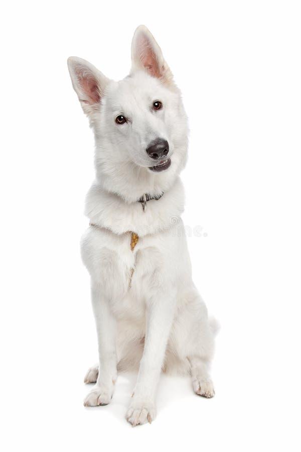 Perro de pastor blanco fotos de archivo
