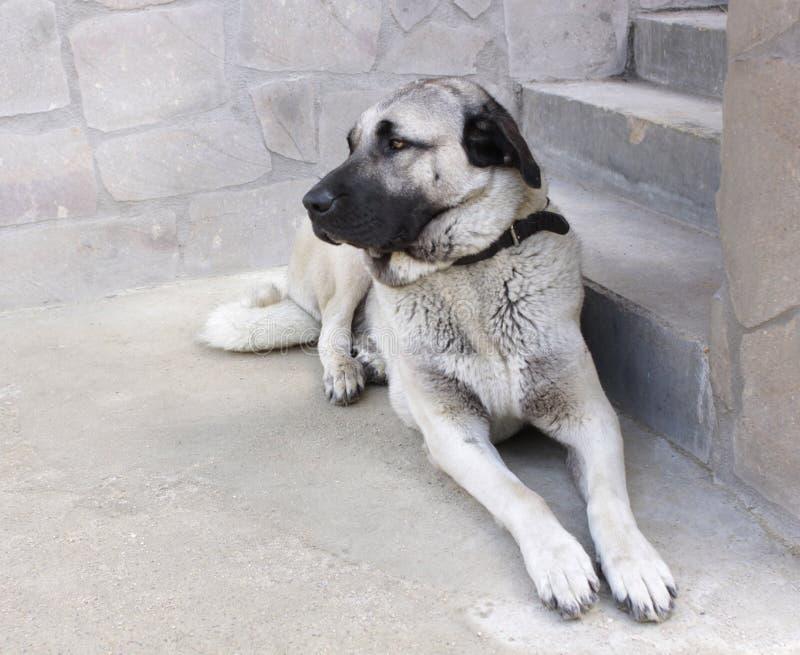 Perro de pastor de Anatolia fotografía de archivo