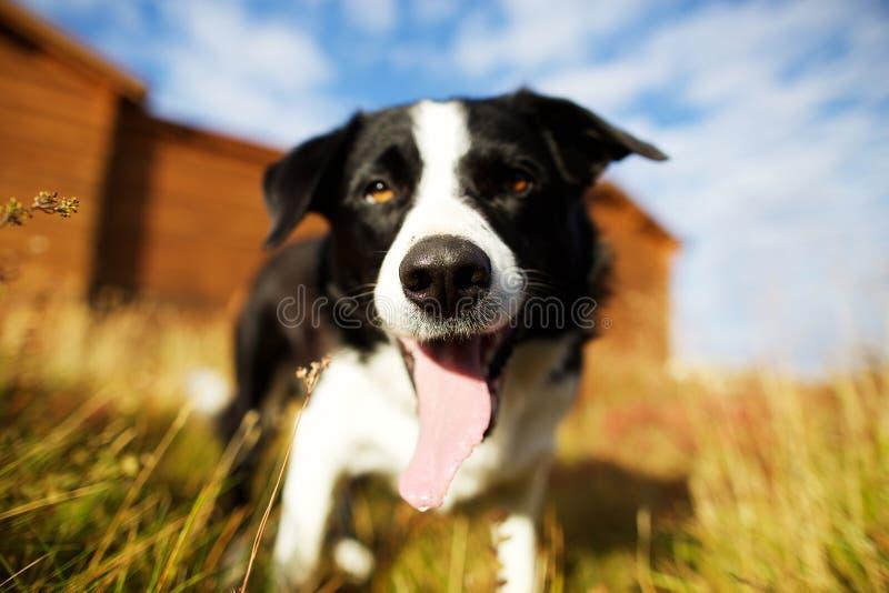 Perro de pastor hermoso fotografía de archivo libre de regalías