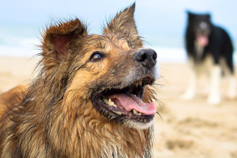 Perro de pastor hermoso imagenes de archivo