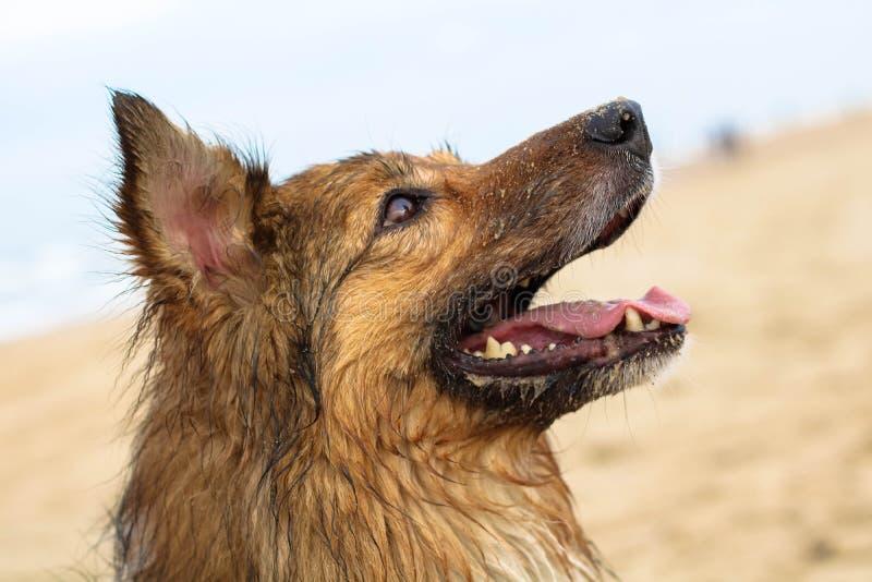 Perro de pastor hermoso imagen de archivo